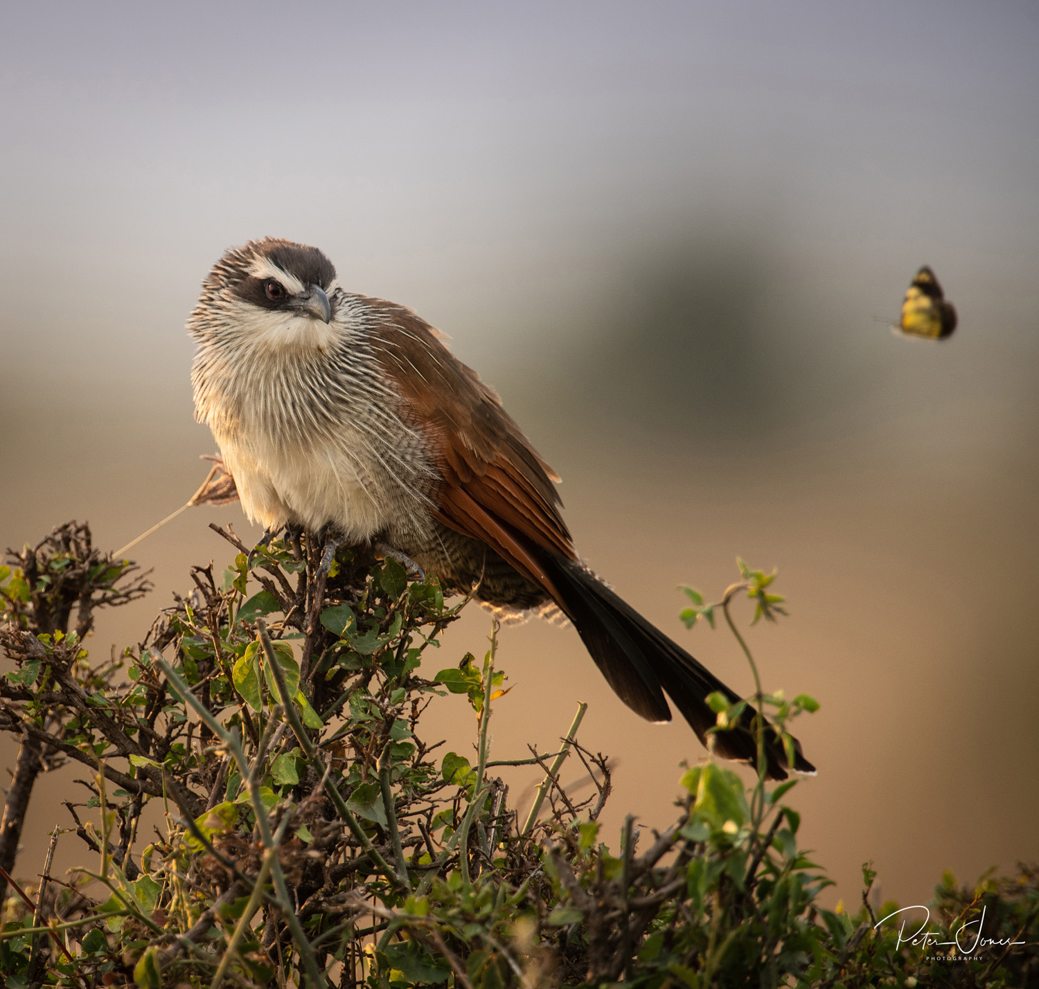 White Browed Coucal Kenya