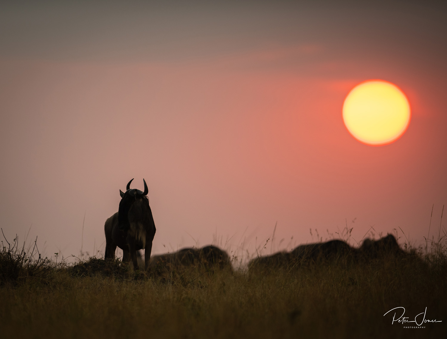Wilderbeest Kenya
