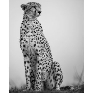 The Regal Cheetah Limited Edition Print