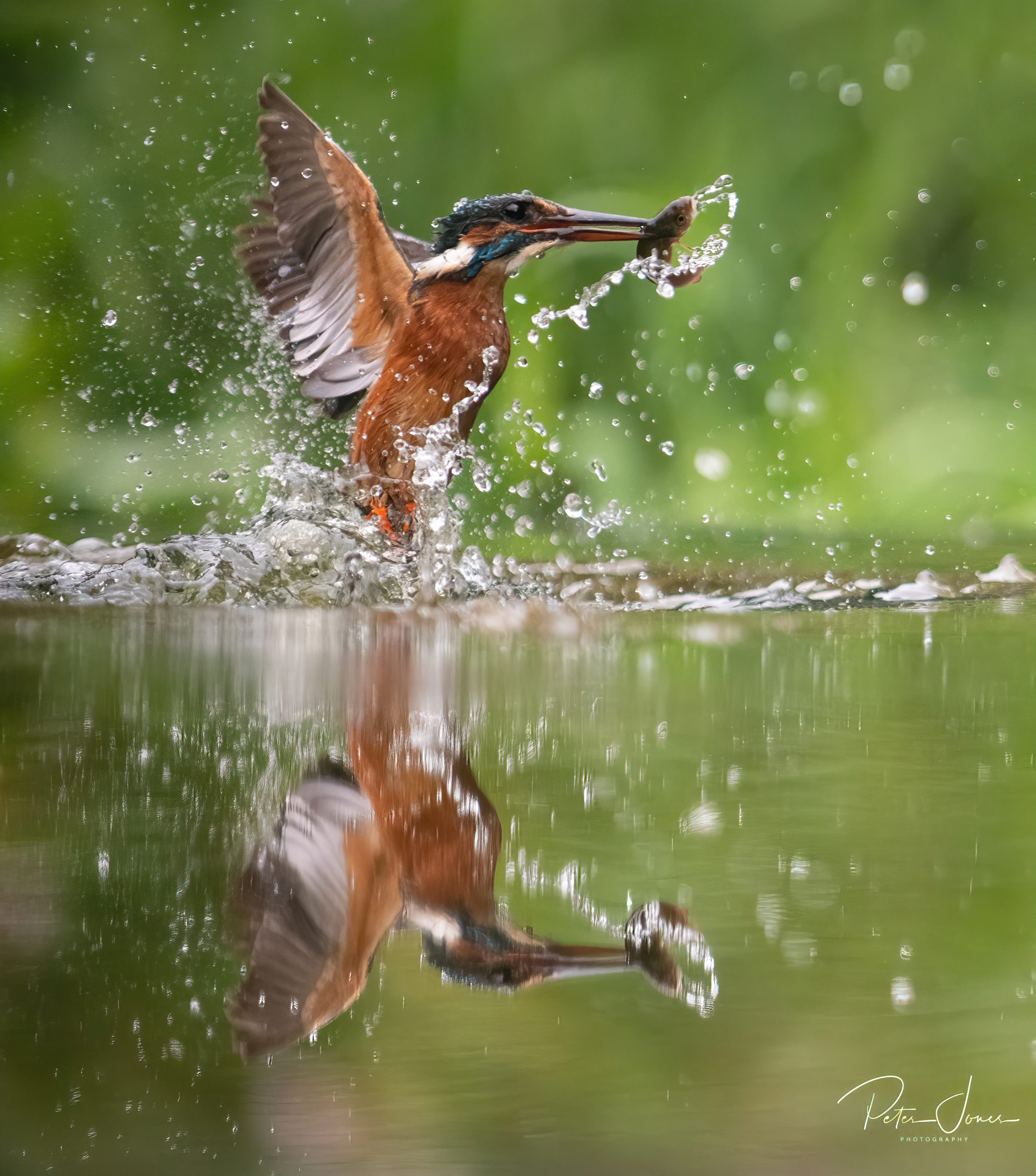 Kingfisher in flight with fish